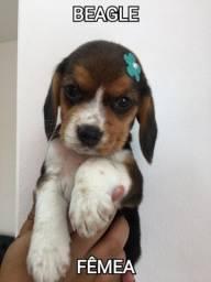 Belíssimos beagle
