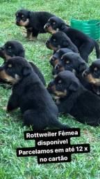 Rottweiler Em Até 12 x SEM JUROS