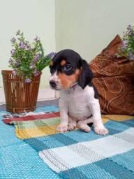 Beagles ótimo para crianças