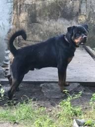 Rottweiler  macho disponível  para cobertura  excelênte linhagem