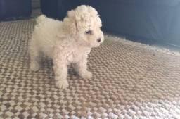 Poodle toy 900 reais