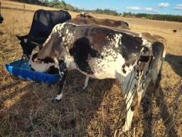 Vacas de Leite enxergadas
