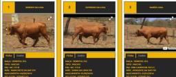 3 touros Senepol PO 27.000 em 36 parcelas e frete