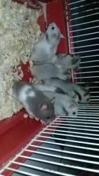 Hamster com 1 mês de vida