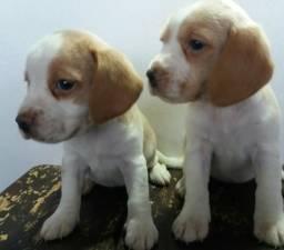 Beagle fêmeas