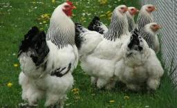 Aves (galos e frangas) raça Brahama