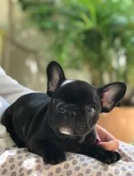 Filhote bulldog francês último
