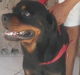 Rottweiler CABEÇA DE TOURO legítimo