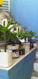 Vendo palmeiras phafia