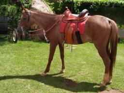 Cavalo árabe três anos e meio