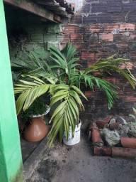 Vendo palmeira índiana,ainda em crescimento ficando muito bonita