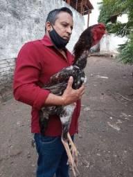 Vendo pinto e frango e franga e galo indio gigante