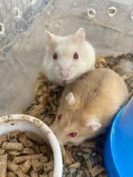Título do anúncio: Vendo 5 hamsters anão russo com alojamento