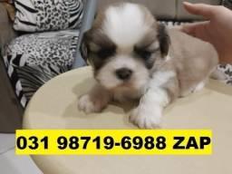 Canil Filhotes Cães Diferenciados BH Lhasa Bulldog Yorkshire Beagle Basset Shihtzu Maltês