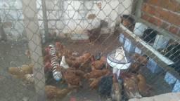 Vendo um lote de galinhas caipiras tudo saudáveis aceito cartão também