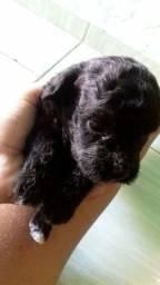 Poodle vermifugados e pedigre