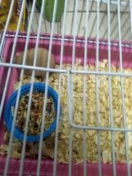 Hamster sírio fêmea filhote com gaiola
