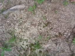 65 hectares a 18 km de castanhal contendo seixo na chacara por 600 mil zap *