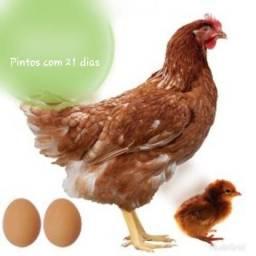Pintos Isa Brow
