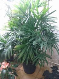 Planta para decorar