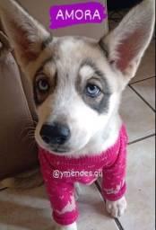Título do anúncio: Husky siberiano vermífugada e duas doses de vacinas importadas