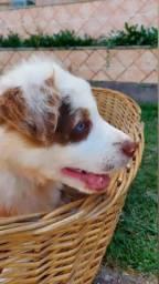 Título do anúncio: Border collie filhote com pedigree