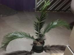 Palmeira ?