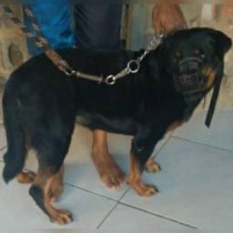 Rottweiler cabeça de touro pura