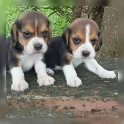 Beagle belissimos disponíveis a pronta entrega