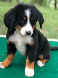 Lindos Filhotes de Bernese Mountain Dog