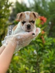 Bulldog Francês adquira-os hoje para você!!!!