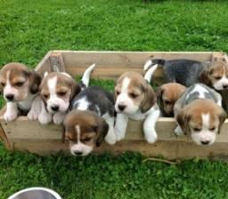 Beagle Mini lindos Filhotes Recibo Garantia Pedigree