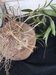 Folhagem , suculentas,mudas de orquídeas