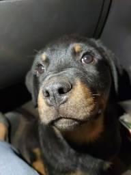 Título do anúncio: Filhote Rottweiler com pedigree