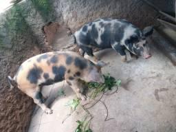 Vendo Porco