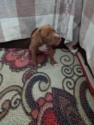 Título do anúncio: Filhotes de Pitbull disponível já vermifugados