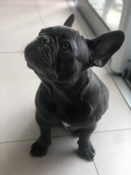 Bulldog francês blue sólido raríssima