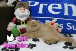 Gatos persa e himalaio
