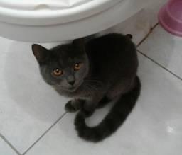 Doa-se gatinhos com 4 meses, o pai é um gato persa