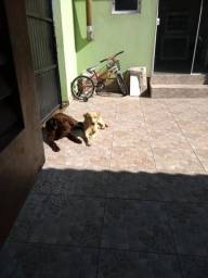 Filhotona de labrador bege
