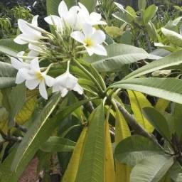 Mudas de Plantas Ornamentais, Frete Grátis para Foz do Iguaçu