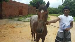 Vendo cavalo de primeira muda