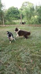 Filhotes de Border Collie com pedigree azul