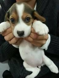 Beagle macho Ja comendo ração e vaciando .