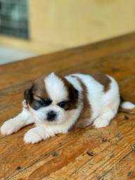 Shih Tzu Pets