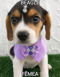 Beagle fêmea disponível na MK DR PET