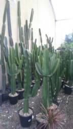 Mudas de Cactus