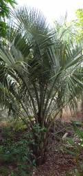 Árvore de butiá