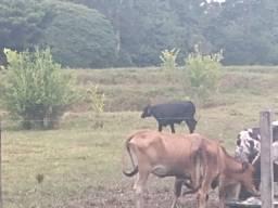 Precisa-se de vaqueiro