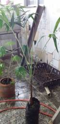 Planta palmeira imperial